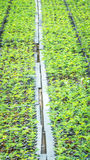 Seedlings of plant. Seedlings of tropical plant on the tray at the nursery Stock Images