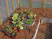 Seedlings for planting Stock Photo
