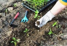 Seedlings. Planting seedlings of pepper in the garden Stock Photos