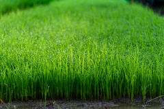 Seedlings for planting. Of Thailand farmer Royalty Free Stock Photos