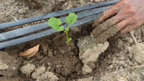 The seedlings of plants planted in the soil. Royalty Free Stock Photo