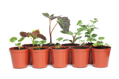 Seedlings in Plastic Pots. A selection of different types of seedlings in plastic pots Stock Image