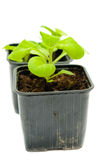 Seedlings in a pot Royalty Free Stock Images