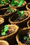 Seedlings in pots Stock Photos