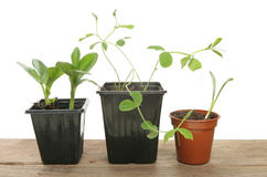 Seedlings in pots Royalty Free Stock Photo