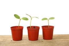 Seedlings in pots. Three seedlings in pots on rustic wood Royalty Free Stock Image