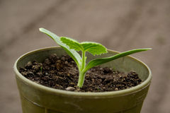 Seedlings in pots. Farm soil background Stock Photos
