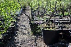 Seedlings in pots Stock Photo