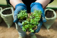 Seedlings in pots in the hands Royalty Free Stock Image