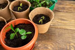 Seedlings in pots on the table. Background image. Copy space royalty free stock photos