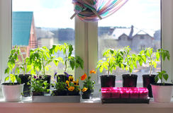 Seedlings in pots on a windowsill. Tomato, pepper, viola and other seedlings in pots and container on a windowsill in home Stock Photo