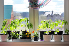 Seedlings in pots on  a windowsill. Tomato, pepper, viola and other seedlings in pots on a windowsill in home Stock Image