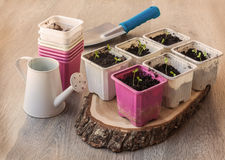 Seedlings  in pots on a wooden table Royalty Free Stock Images
