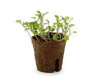 seedlings potted 2 Imagens de Stock