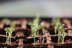 Seedlings prudentes Fotografia de Stock