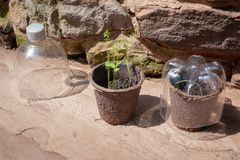 Seedlings and recycled plastic bottles. Two biodegradable pots of seedlings and homemade cloches made of recycled plastic bottles royalty free stock images