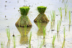 Seedlings of rice Stock Photo