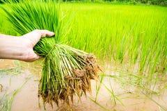 Seedlings rice Stock Image