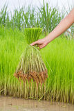 Seedlings rice. Agriculture green grow nature rice Royalty Free Stock Photography