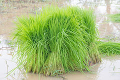 Seedlings rice. Agriculture rice  soil spring water Royalty Free Stock Images
