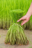 Seedlings rice. Food green nature plantation  tropical Stock Images