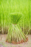 Seedlings rice. Green grow nature  production rice Stock Photo