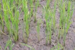 Seedlings of rice Stock Photo