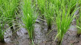 Seedlings of rice. Agriculture in rice fields stock video footage