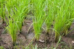 Seedlings of rice Royalty Free Stock Photography