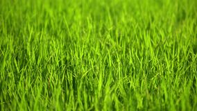 Seedlings of rice. Plants in fields with wind blowing stock video