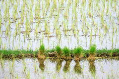 Seedlings of rice in Thailand Royalty Free Stock Photos