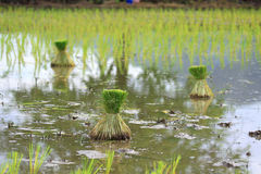 Seedlings of rice in Thailand Stock Photos