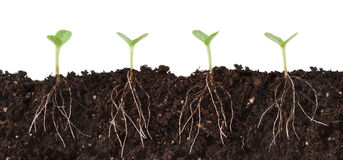 Seedlings and Roots Cutaway. Several seedlings growing in dirt, cutaway view showing roots Royalty Free Stock Photos