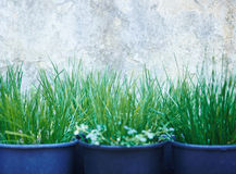 Seedlings. Rows of grass seedlings outdoor Royalty Free Stock Images