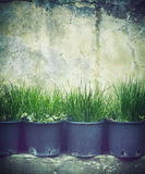 Seedlings. Rows of grass seedlings outdoor Royalty Free Stock Photography