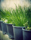 Seedlings. Rows of grass seedlings outdoor Stock Photos