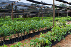 Seedlings of rubber trees Stock Images