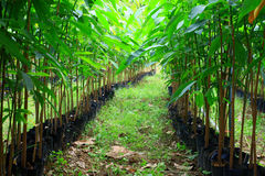 Seedlings of rubber trees on a plantation Royalty Free Stock Photo