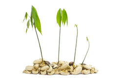 Seedlings of rubber trees. Royalty Free Stock Photography