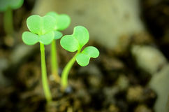 Seedlings of some vegetables. Royalty Free Stock Photography