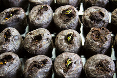 Seedlings sprouting in starter pods Stock Photos