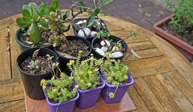 Seedlings sprouts and colored pots on wooden table in inner yard Stock Photos