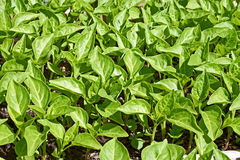 Seedlings of sweet pepper plants Stock Photos
