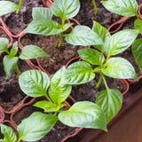 Seedlings of sweet pepper in plastic cups Stock Photos