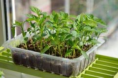 Seedlings of sweet pepper Stock Photo
