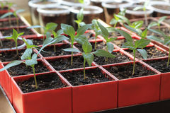 Seedlings of sweet pepper in red containers. Close up. Seedlings of sweet pepper in red containers. Sprouts are lit by sun. Close up Royalty Free Stock Images
