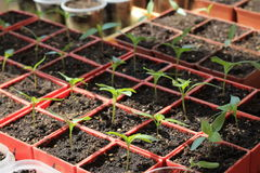 Seedlings of sweet pepper in red containers. Sprouts are lit by sun Royalty Free Stock Images