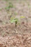 Seedlings of the sweet potato. Royalty Free Stock Photos