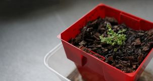 Seedlings of thyme in clod of soil potted Royalty Free Stock Images