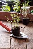 Seedlings of thyme royalty free stock photography